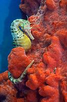 big-belly seahorse or pot-bellied seahorse, Hippocampus abdominalis, clinging onto red sponge, Port Phillip Bay, Victoria, Australia