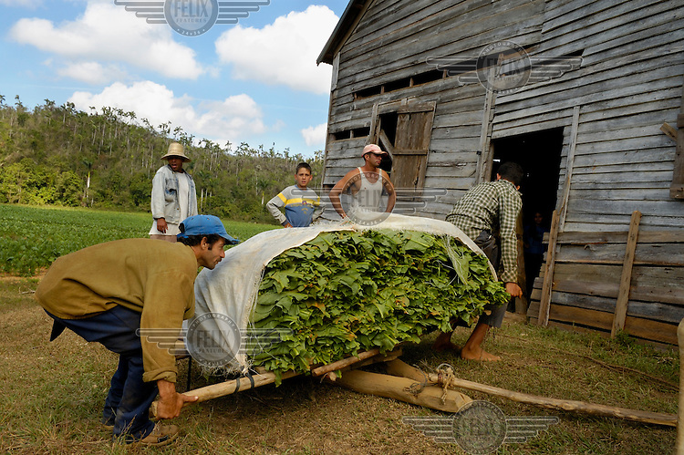 Plantation labourers carry freshly harvested tobacco leaves into a drying hall in the Valle de Vinales. The Valle de Vinales, which is known for its outstanding karst landscape and traditional agricultural industries, is a UNESCO Natural World Heritage Site.