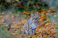 Wild Bobcat (Lynx rufus) yawning.  Olympic National Park, WA.  November.  (Completely wild, non-captive cat.)  Sitting in fallen bigleaf maple tree leaves.