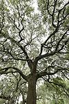 Damon, Texas; massive live oak trees spread their branches across an overcast sky