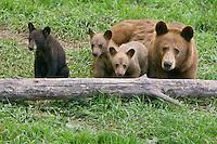 Cinnamon Black Bear family sitting behind a log