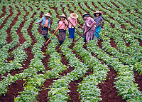 The rich and fertile soil of the Shan state Myanmar Women tending to the Potato fields