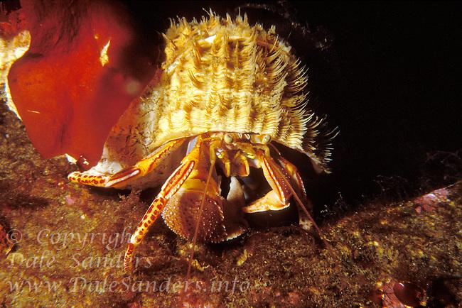 Orange Hermit Crab in Oregon Triton shell, British Columbia, Canada.