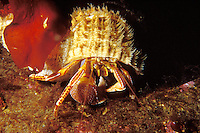 Orange Hermit Crab in Oregon Triton shell, British Columbia, Canada.