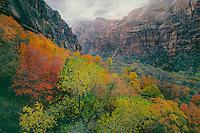 Fremont cottonwood & bigtooth maples<br /> Zion Canyon<br /> Zion National Park<br /> Colorado Plateau,  Utah