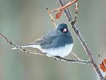 Junco bird on tree limb in winter.