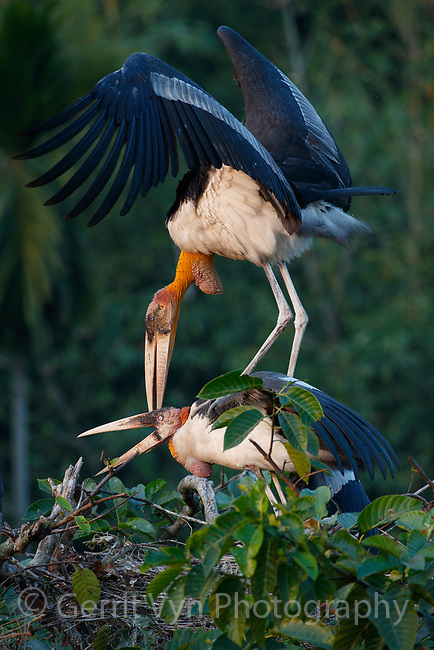 Greater Adjutant copulating in nesting colony. Dadara, Assam, India. December.