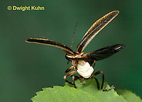 1C24-532z  Firefly Adult - Lightning Bug flying from leaf - Photuris spp.
