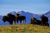 Flock of buffalos in Waterton National Park foto, reise, photograph, image, images, photo,<br />
