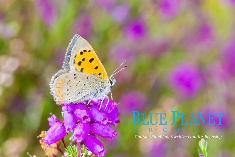 Small Copper butterfly (Lycaena phlaeas) adult male perched on bell heather, Powys, Wales, United Kingdom, Europe