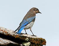 Juvenile mountain bluebird