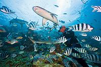scuba diver and Whitetip Reef Shark at Shark Feeding, Triaenodon obesus, Beqa Lagoon, Viti Levu, Fiji, Pacific Ocean, model release