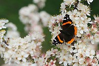 Red Admiral (Vanessa atalanta), adult perched on blooming Mexican Plum (Prunus mexicana), Hill Country, Texas, USA