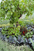 Fruit and vegetable garden in small space includes grape vine, chard, blue cabbages, variegated culinary sage Salvia officinalis, lavender, etc
