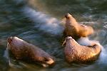 Walrus, Togiak National Wildlife Refuge, Alaska