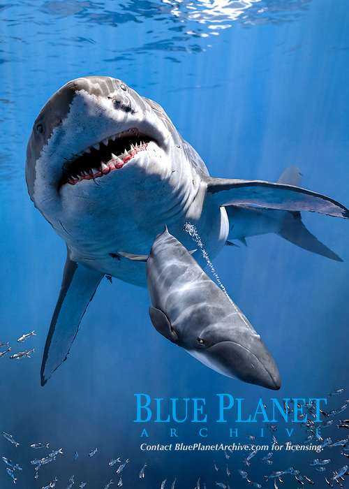 megalodon, Otodus megalodon, hunting small whale, estimated to grow up to 16 m (52 ft) in total length, digital illustration