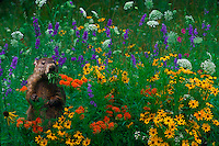 Meaodw of native wildflowers with groundhog, marota monax,  eating greens