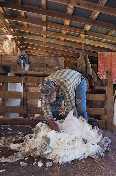 Domestic Sheep, shearing  Sheep, Hill Country, Texas, USA