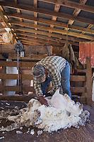 Domestic Sheep, shearing  Sheep, Hill Country, Texas, USA
