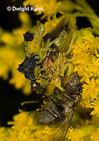 AM06-533z  Ambush Bugs mating while female feeds on insect, goldenrod flowers, Phymata americana