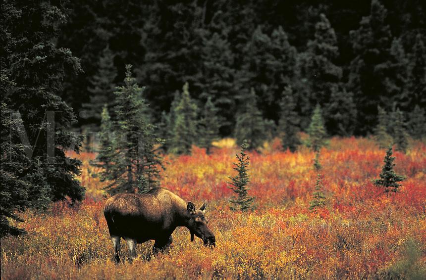 Moose cow grazing in fall tundra. Alaska USA Denali National Park.