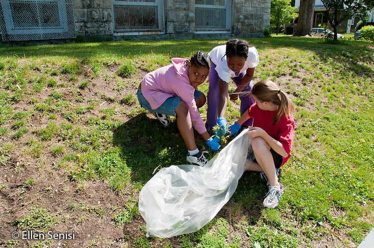 MR / Schenectady, New York. Elmer Avenue School (urban public elementary school). One of a series of images of an environmental education activity where 3rd grade and 5th grade students work together to pick up trash and pull weeds on school grounds. Students work together as a group to pull weeds. (Left: girl, age 9; center: girl, age 9; right: girl, age 11). MR: Wil37, Cur1, Gre15. ID: AK-g3m. ©Ellen B. Senisi