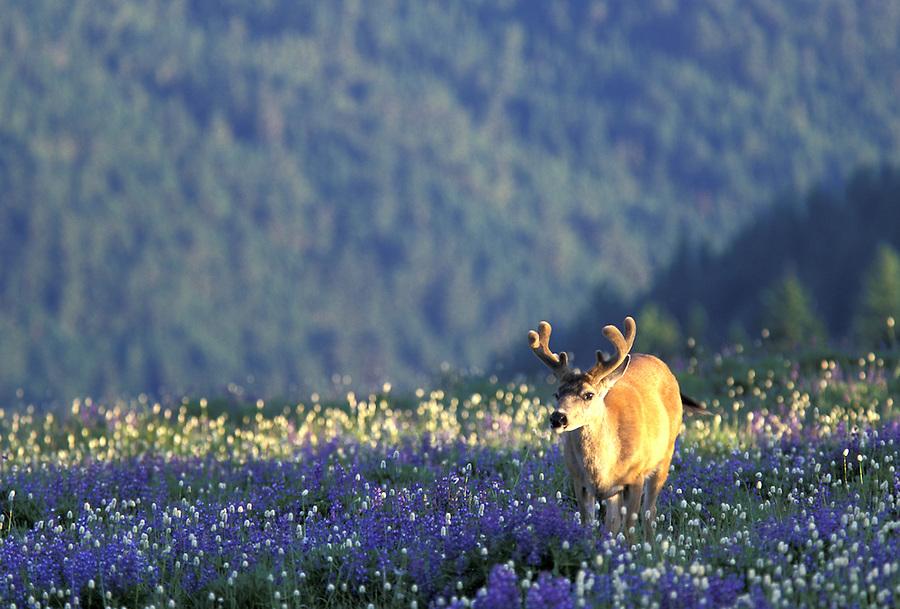 Black-tailed buck laying in wildflowers, Hurricane Ridge, Olympic National Park, Washington