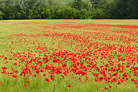 A field of common red poppies, papaver rhoeas, blooms amidst green wheat and grasses, Tuscany, Italy.