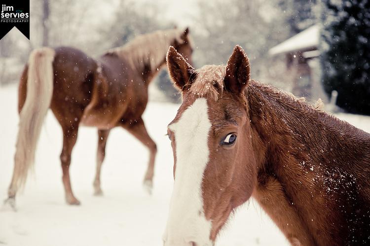 Images: Horses in Snow, Norris, TN 2011
