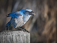 A bright blue Florida Scrub Jay with a nut in it's beak