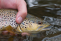 Brown Trout, Current River, Missouri