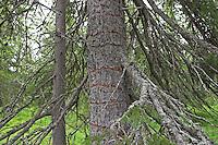 Dreizehenspecht, Dreizehen-Specht, Specht, Fraßspuren, Fichte geringelt, Picoides tridactylus, Three-toed Woodpecker, Pic tridactyle