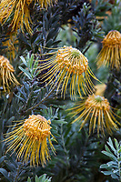 Leucospermum reflexum - Rocket Pincushion, yellow flowering Australian shrub in University of California Berkeley Botanical Garden