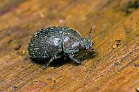 Schwarzbrauner Kurzschröter, Kurzschröter, Kurzhornschröter, Aesalus scarabaeoides