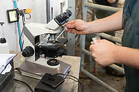 19-5-2021 A vet fertility testing a bull<br /> ©Tim Scrivener Photographer 07850 303986<br />      ....Covering Agriculture In The UK....