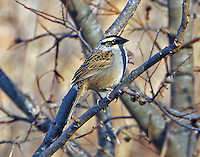 Striped sparrow. The striped sparrow is endemic to the highlands of NW and central Mexico but this individual was discovered on January 11, 2015 on CR 248 beside the San Gabriel River in Williamson County, TX. Since that time the bird has been seen by many and this series of photographs was taken at about 3:30pm on January 15. The bird is consorting with many other sparrows at the location but is usually seen only briefly. It is not known if this individual has strayed naturally from its usual habitat or is an escaped cage bird.<br /> It is a shame that the bird perched so as to have the shadow of a branch across its face, but in bird photography you get what you get.
