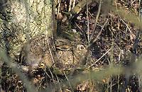 Europäischer Feld-Hase, Feldhase, Hase, gut versteckt in einer Hecke, Tarnung, Lepus europaeus, European hare