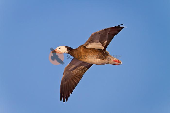 Snow Goose (dark morph, Blue Goose), in flight at Bosque del Apache National WIldlife Refuge