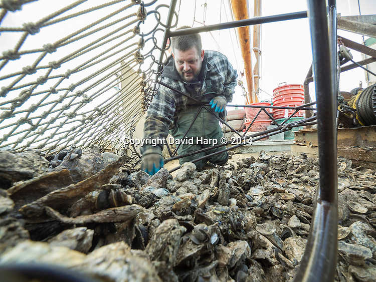 A deckhand culls oysters from a dredge full aboard the skipjack Rebecca T. Ruark