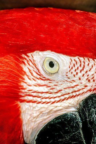 Brazil. Arara Canga, Scarlet macaw in profile; eye, cheek, beak. looking at you.