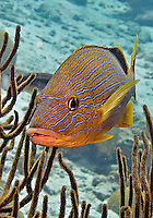 24 August 2004: A Bluestriped Grunt (Haemulon sciurus) swims by some soft coral at Captain Don's Reef on the Dutch Island of Bonaire. Bonaire, known for its pioneering role in the preservation of the marine environment and is part of the Netherlands Antilles group of islands.  Located in the southern Caribbean, off the coast of Venezuela, Bonaire is renowned for its excellent scuba diving, snorkeling, and windsurfing. ..Mandatory Photo Credit: Ed Wolfstein Photo