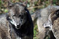 Wolf (Canis lupus), onderdanigl gedrag.