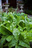French Sorrel, Rumex scutatus herb foliage in front yard edible landscape by brick path in organic vegetable garden