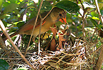 A mother cardinal feeds her young.    (Mark Wallheiser/TallahasseeStock.com)