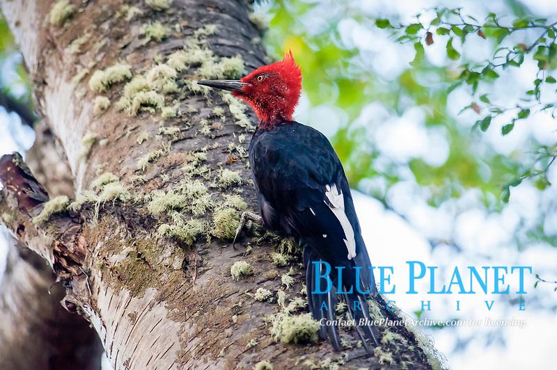 Magellanic woodpecker, Campephilus magellanicus, male, Ushuaia, Tierro del Fuego, Argentina