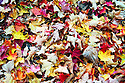 Colorful fall leaves on the ground ready to rake