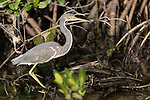 Ding Darling National Wildlife Refuge, Sanibel Island, Florida; a tricolored heron looking for food in the shallow water at the edge of the mangroves, in early morning sunlight