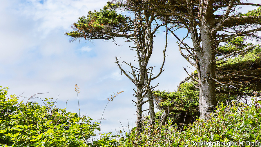 Coast Spruce and Cedar, salal and beach grasses.    Kalaloch Beach State Park, Washington.  Beaches in the Kalaloch area of Olympic National Park, identified by trail numbers, are remote and wild.  Olympic Peninsula, Olympic Mountains, Olympic National Park, Washington State, USA.
