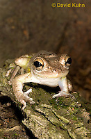 0201-0905  Cuban Treefrog (Cuban Tree Frog) on Tree, Osteopilus septentrionalis  © David Kuhn/Dwight Kuhn Photography