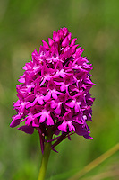 Pyramidenorchis, Pyramiden-Orchis, Pyramiden-Hundswurz, Pyramidenorchis, Spitzorchis, Kammstendel, Pyramidenstendel, pyramidal orchid, L'Orchis pyramidal